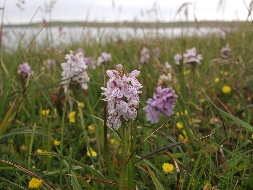 Marsh spotted orchid
