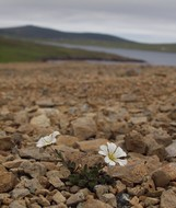 The very famous Shetland Mouse-ear Chickweed
