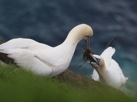 Gannets courting